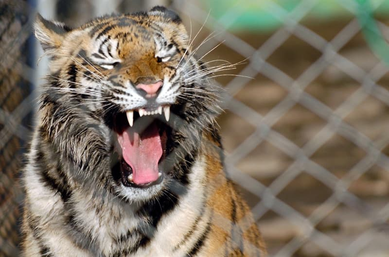 Nature Trivia Question: Is it common for a tiger to stalk and hunt a zebra in the wild?