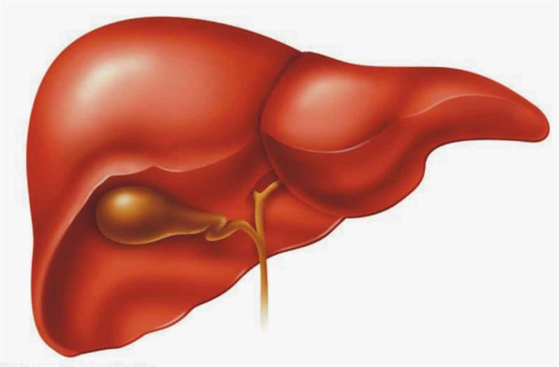 Science Trivia Question: Is the liver a gland and/or an organ?