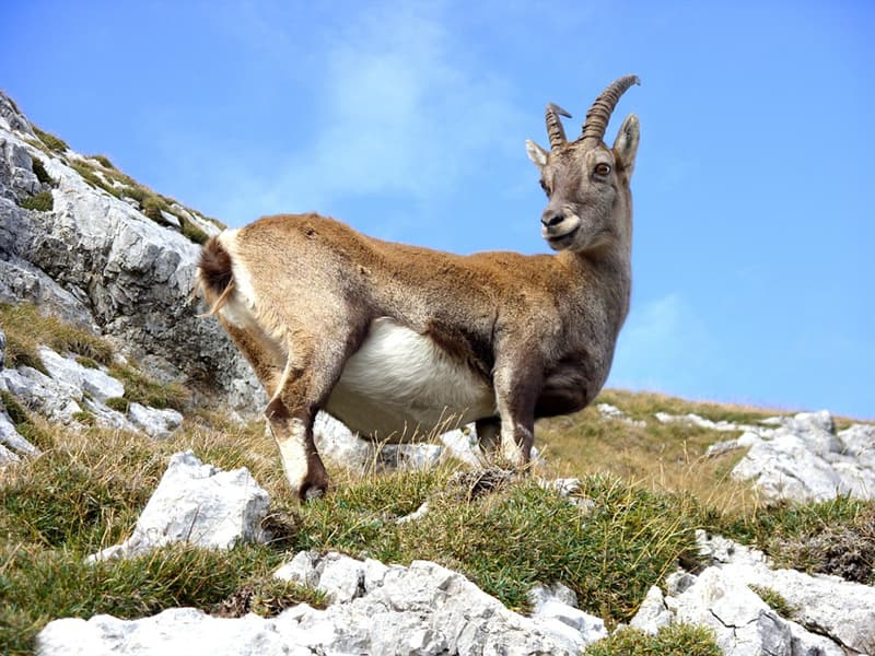 Nature Trivia Question: Is the Pyrenean ibex extinct?