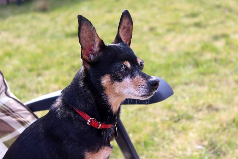 """Nature Trivia Question: The Miniature Pinscher is a """"miniature Doberman"""" and not a separate breed."""