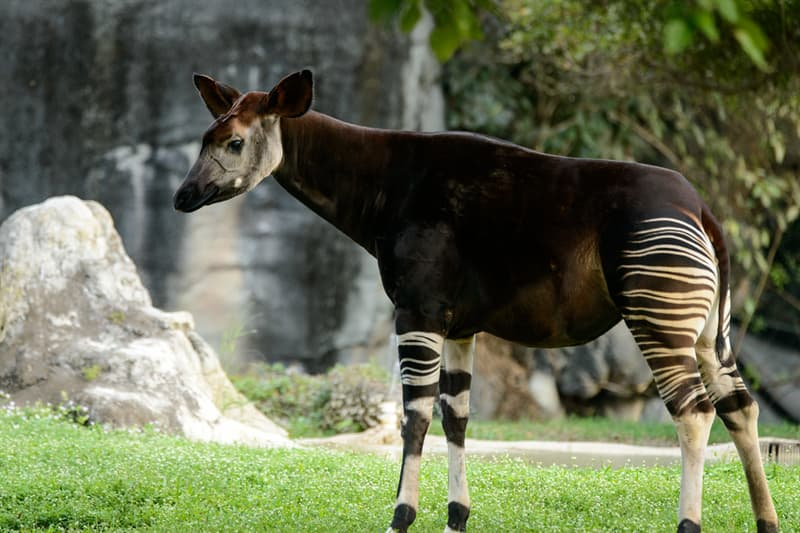 Nature Trivia Question: The okapi belongs to what family of animals?