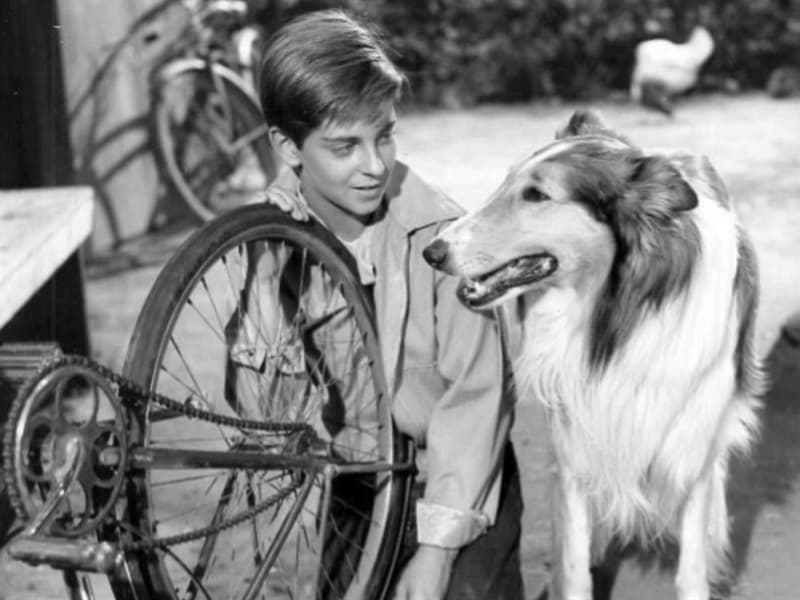 Culture Trivia Question: What breed of dog was Lassie?