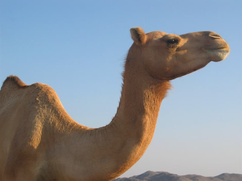 Culture Trivia Question: What is the origin of the word Camel?