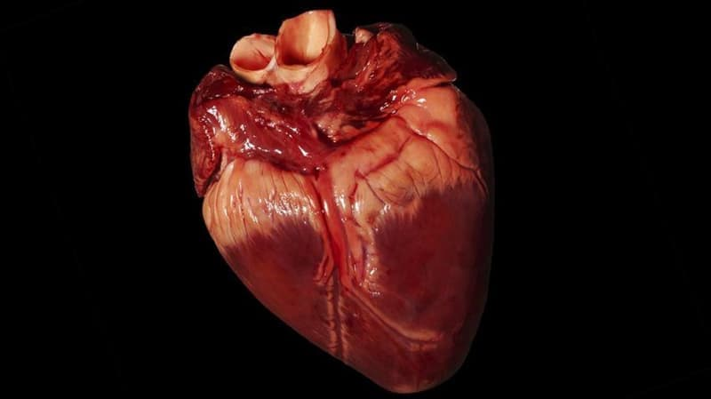 Природа Вопрос: Какое из следующих животных имеет более чем одно сердце?
