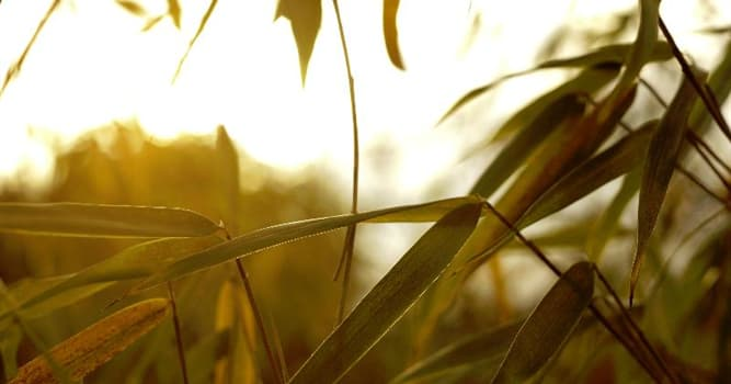 Nature Trivia Question: What is the fastest growing grass in the world?
