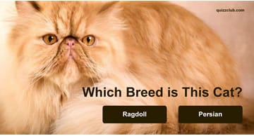 Quiz Test: Which Breed is This Cat?
