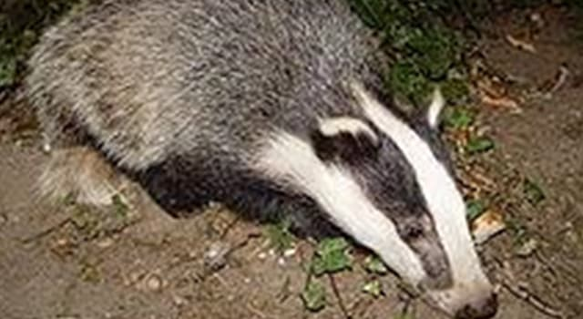 Nature Trivia Question: What is a collective name for a group of badgers?