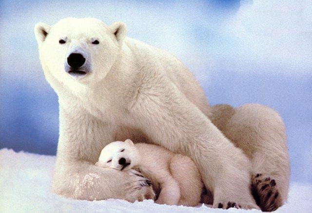 Природа Вопрос: Сколько процентов белых медвежат погибает в первый год жизни?