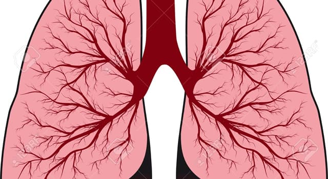 Science Trivia Question: In humans, do the right/left lungs have the same amount of lobes?