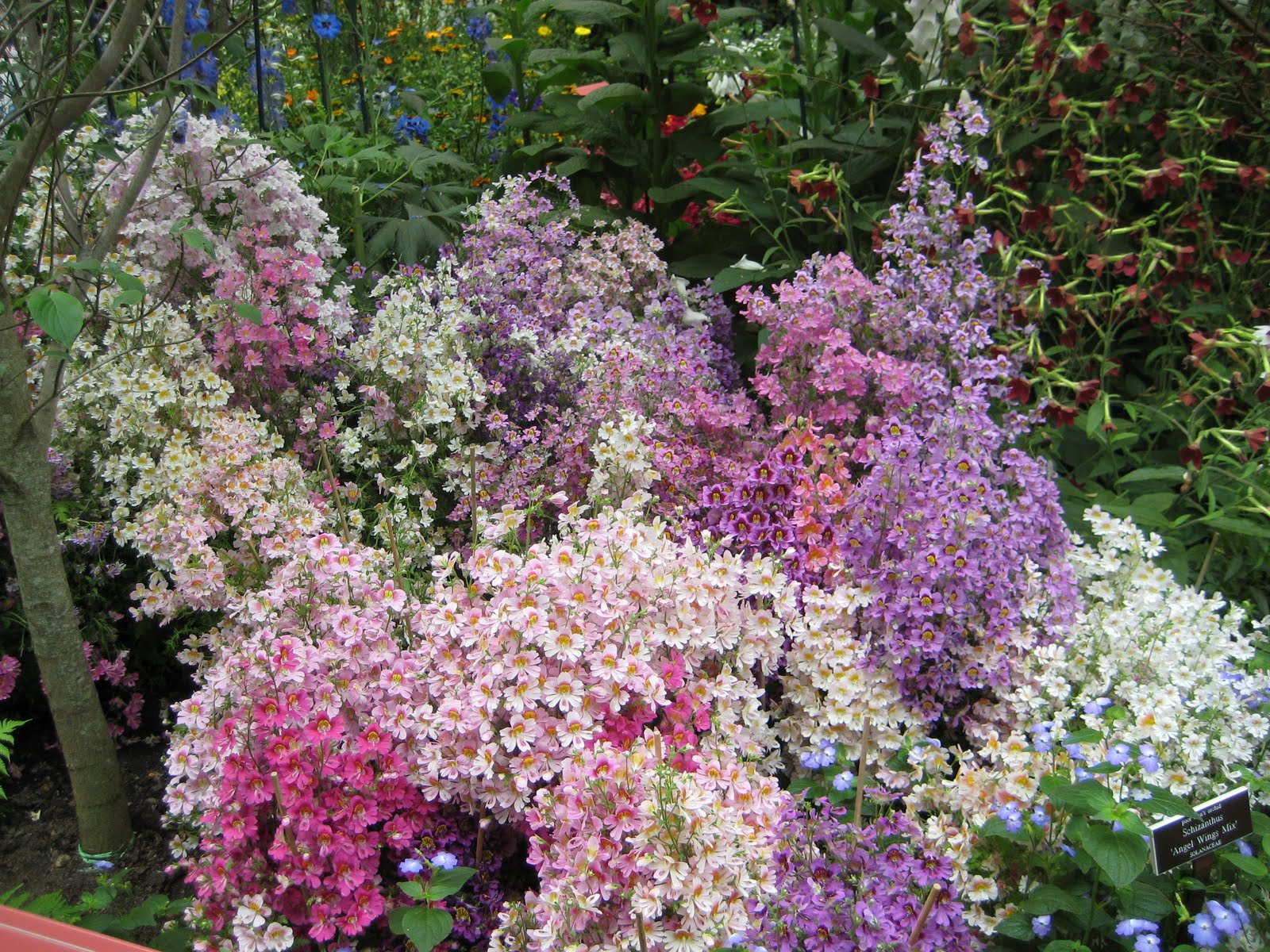 schizanthus angel wings how to grow