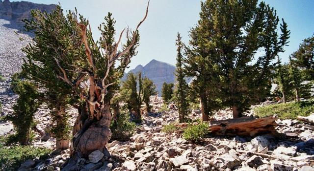 Naturaleza Pregunta Trivia: ¿Cuál es el ser vivo más longevo del planeta?