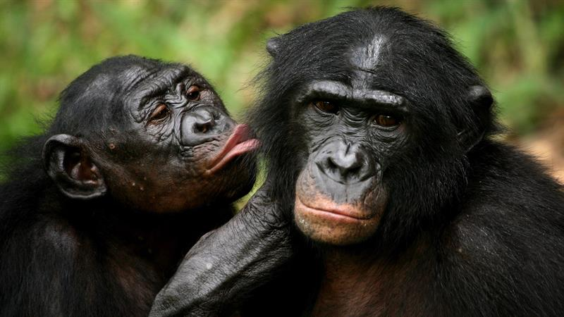 Nature Trivia Question: How can the bonobo best be described?