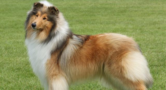 """Movies & TV Trivia Question: On the U.S. TV series """"Lassie"""" (1954-1971), which of the following characters was the first boy to serve as Lassie's owner?"""
