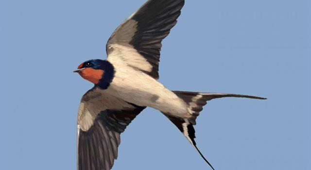 Naturaleza Pregunta Trivia: Cuando las golondrinas vuelan bajo: ¿a qué se debe?