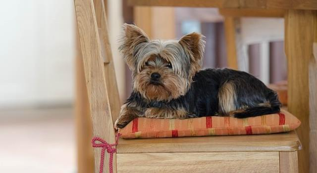 Nature Trivia Question: From which country did the Yorkie breed dog originate?