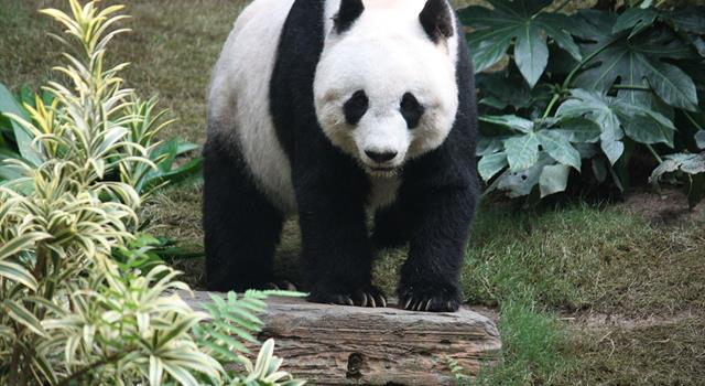 History Trivia Question: Which Chinese giant panda was the first inspiration of WWF's (World Wildlife Fund)  logo?