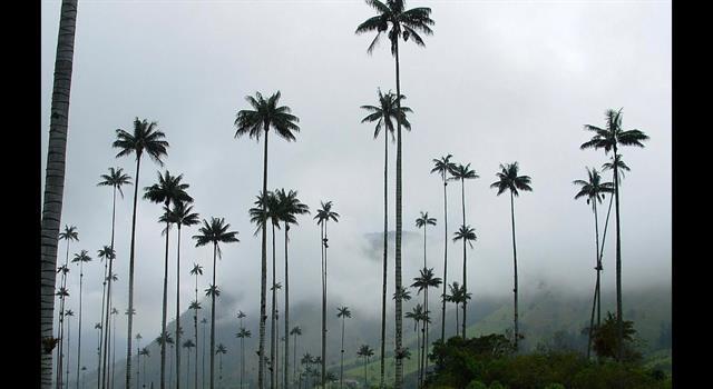 Cultura Pregunta Trivia: ¿Cuál de las siguientes palmas es el árbol nacional de Colombia?