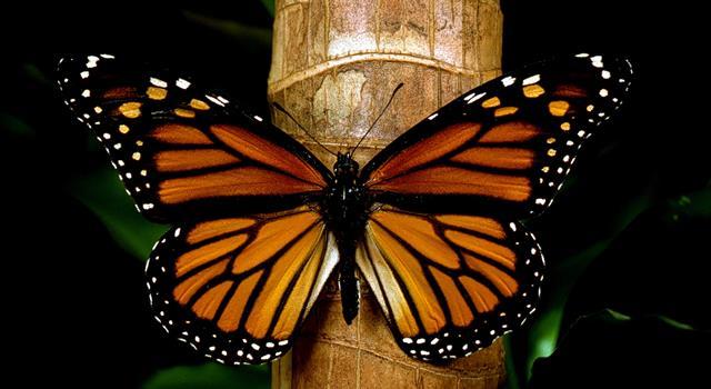 Naturaleza Pregunta Trivia: ¿Cuántos kilómetros, aproximadamente, viaja la mariposa monarca durante su migración anual de Canadá a México?