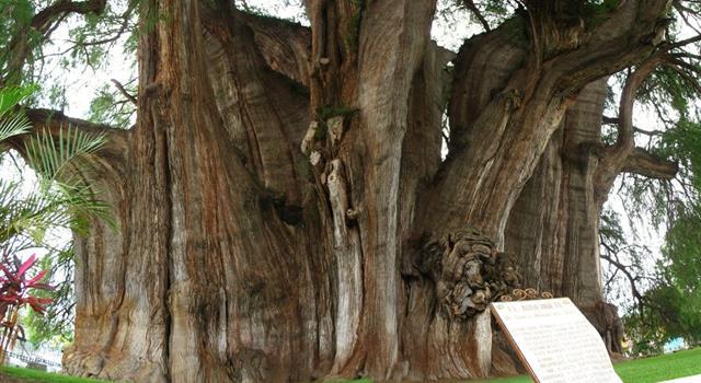 Naturaleza Trivia: ¿Qué árbol tiene el diámetro de tronco más grande del mundo?
