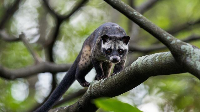 Culture Trivia Question: The feces of the palm civet cat are used for which human product?