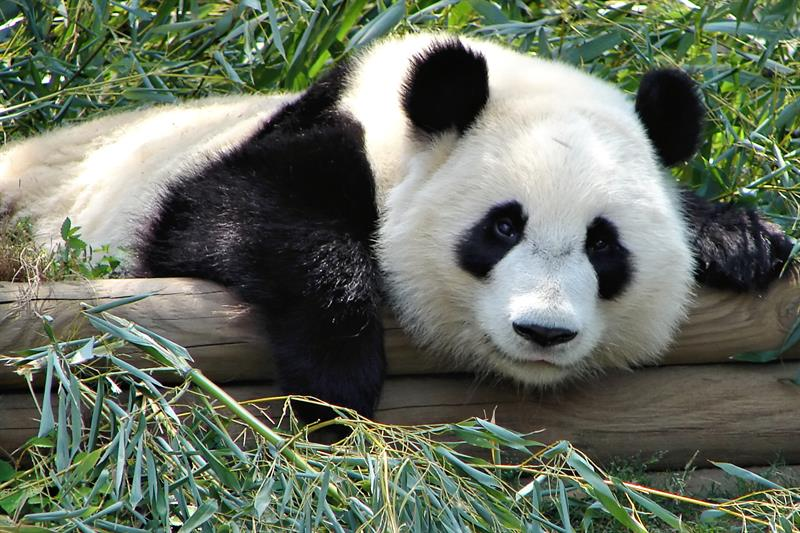 Nature Trivia Question: What grass is the favorite food of pandas?