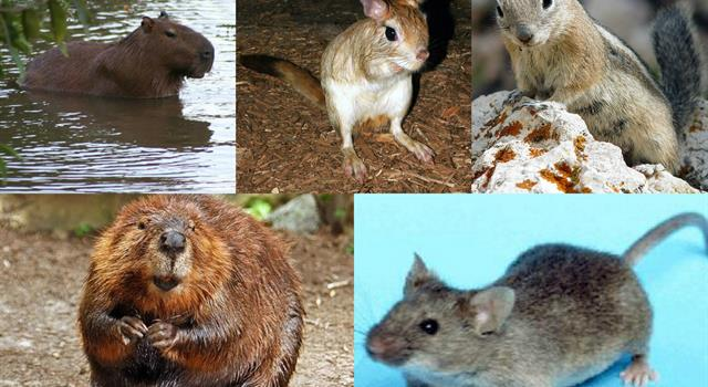 Nature Trivia Question: What rodent has the longest life span?