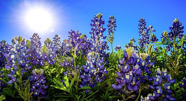 Nature Trivia Question: What flower is Texas known for?