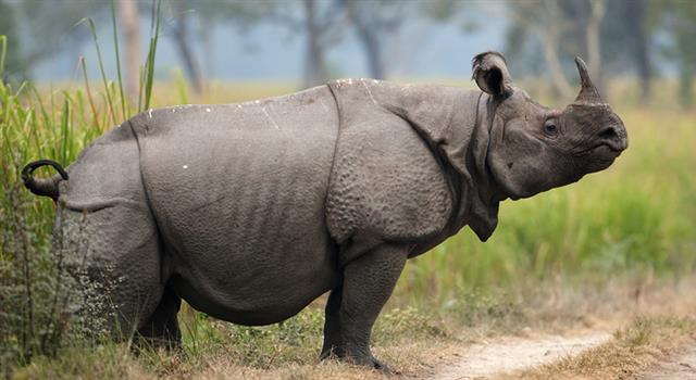 Nature Trivia Question: Which species of rhinoceros has only one horn?