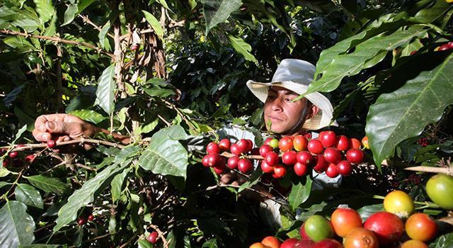 Cultura Pregunta Trivia: ¿Cómo se produce el café más caro del mundo?