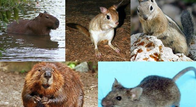 Naturaleza Trivia: ¿Cuál de los siguientes animales no es un roedor?