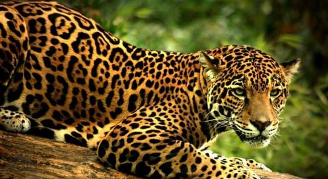 Naturaleza Pregunta Trivia: ¿Cuántas especies de felinos silvestres hay en México?