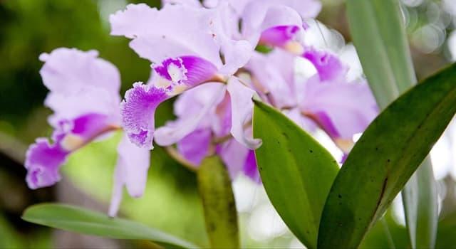 Naturaleza Pregunta Trivia: De las siguientes orquídeas, ¿cuál es la flor nacional de Colombia?