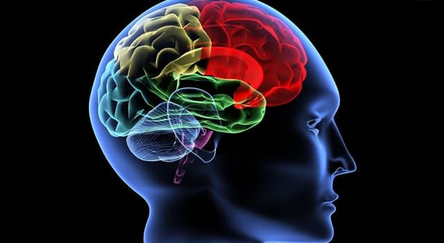 Science Trivia Question: The cerebrum is the largest part of the brain and accounts for how much of the organ's weight?