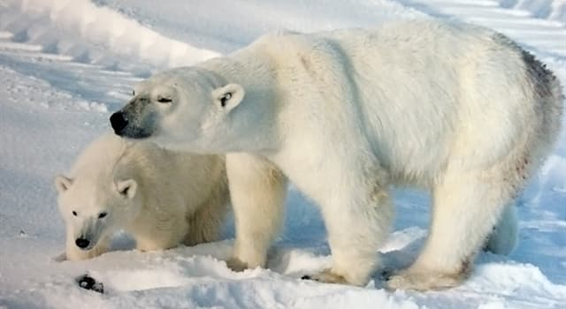 Nature Trivia Question: What does the Latin name for polar bears, 'Ursus maritimus' mean?