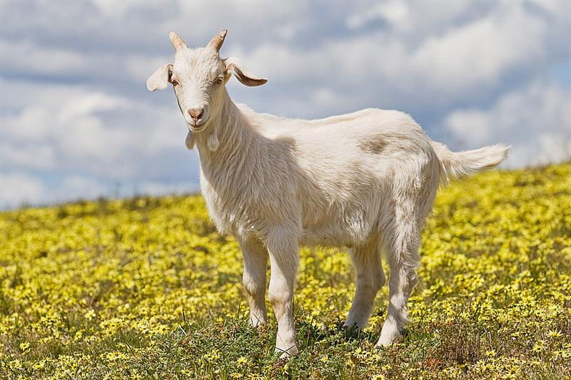 Nature Trivia Question: What is a castrated male goat called?