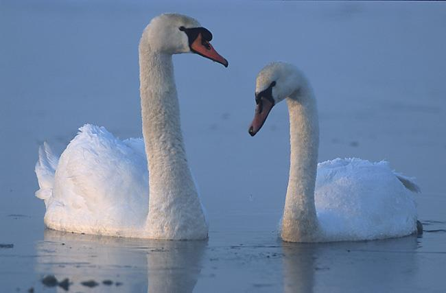 Nature Trivia Question: What is a female swan called?