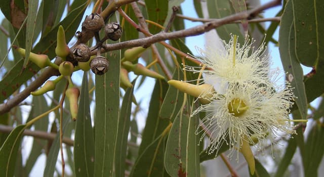 Nature Trivia Question: Which animal can survive eating only eucalyptus leaves?