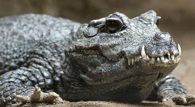 History Trivia Question: Which crocodile in Africa is rumored to have killed as many as 300 people near the Ruzizi River?