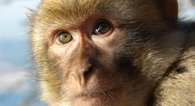 Nature Trivia Question: Which is the largest primate?