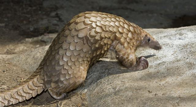 Culture Trivia Question: Which of the following species is an Indian pangolin?