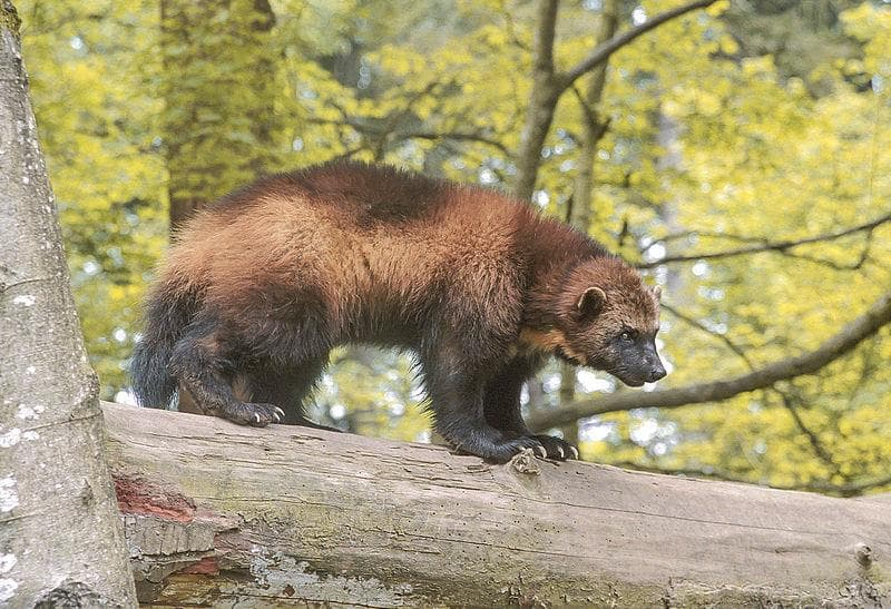 Geography Trivia Question: Which US state is the wolverine state?