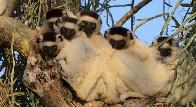 Nature Trivia Question: All species of lemurs are native to which island country?