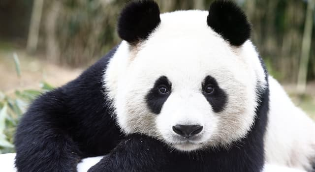 Nature Trivia Question: Approximately, how many hours per day do pandas spend eating?