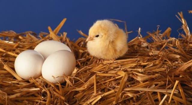 Natur Wissensfrage: Wie atmet ein Küken im Ei?