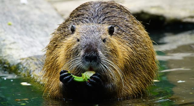 Geography Trivia Question: A beaver's teeth never stop growing