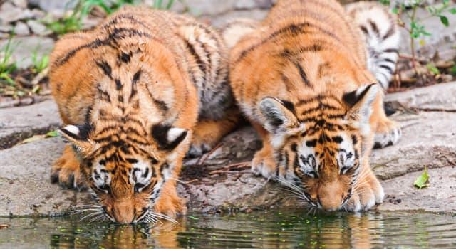 Natur Wissensfrage: Welche Augenfarbe haben erwachsene Tiger normalerweise?