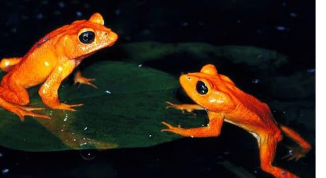 Naturaleza Trivia: ¿Qué anfibio es catalogado como el primer caso de extinción a causa del calentamiento  global?