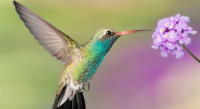Naturaleza Pregunta Trivia: ¿Cuál es el máximo de aleteos que puede dar un colibrí por segundo?