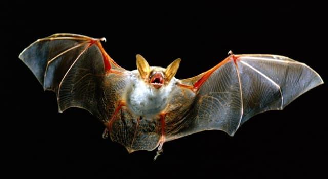 Cultura Pregunta Trivia: ¿Cuál es la forma correcta de pronunciar murciégalo o murciélago?