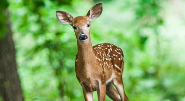 Nature Trivia Question: Distinguished from other members of the family by its palmate antlers, which is the largest extant deer?